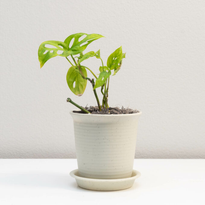 Potted Monstera adansonii for sale by Urban Flora.