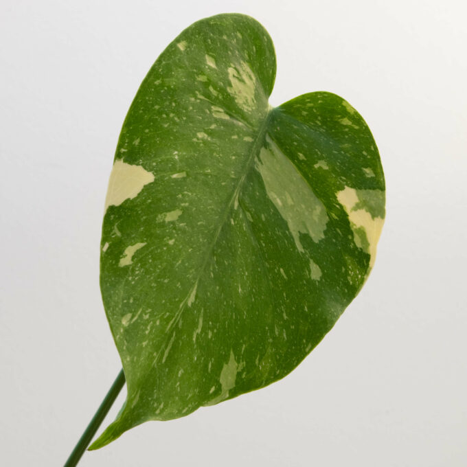 """Leaf detail of Monstera deliciosa """"thai constellation"""" for sale by Urban Flora."""