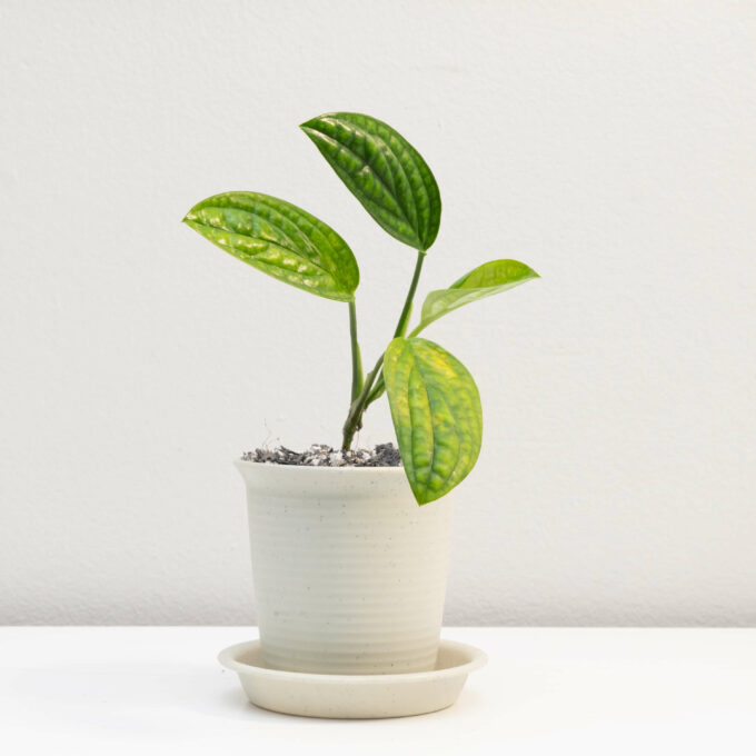 Potted Monstera karstenianum for sale by Urban Flora.