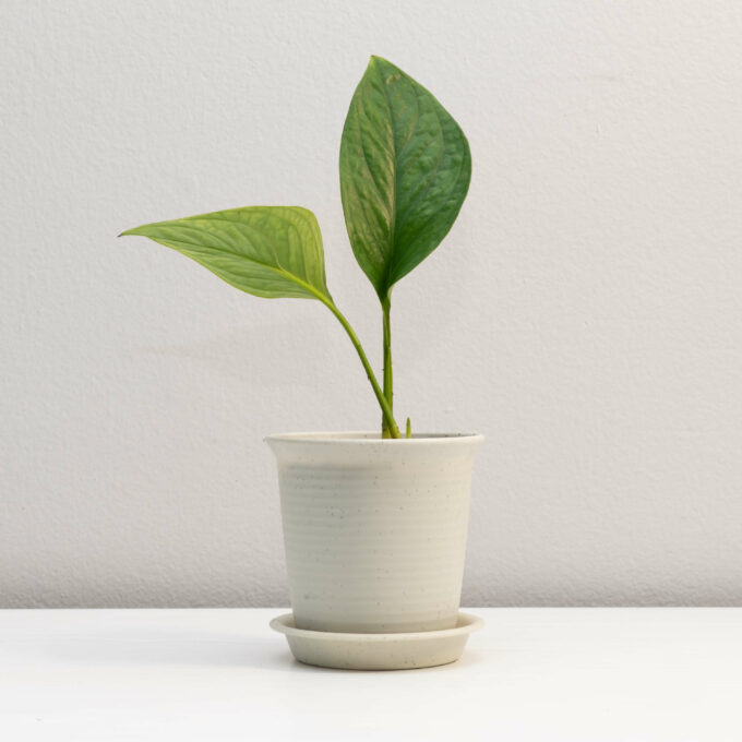 """Potted Monstera pinnatipartita """"Siam"""" for sale by Urban Flora."""