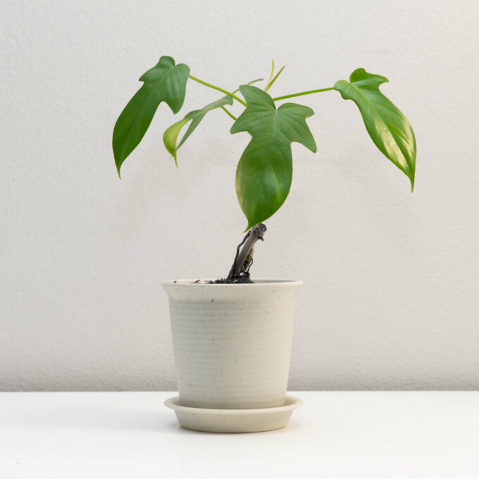 """Potted Philodendron bipennifolium """"Gold Violin"""" for sale by Urban Flora."""