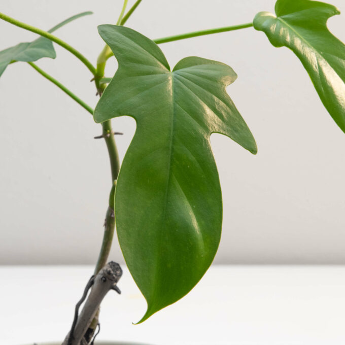 """Leaf detail of Philodendron bipennifolium """"Gold Violin"""" for sale by Urban Flora."""