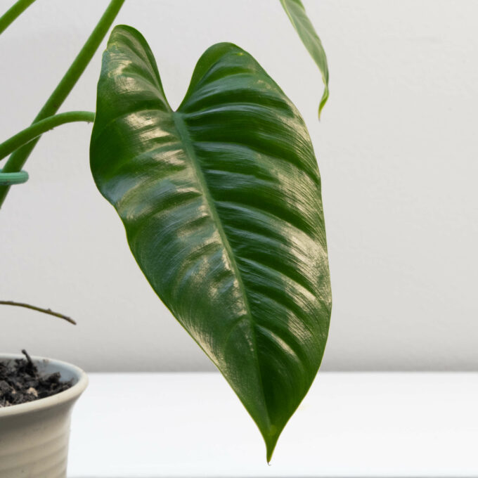 Leaf detail of Philodendron deflexum for sale by Urban Flora.