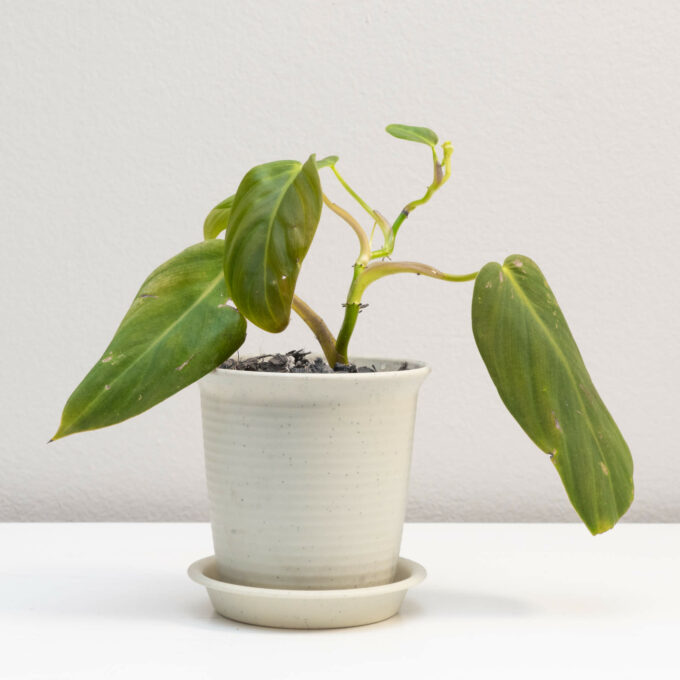 Potted Philodendron gigas for sale by Urban Flora.