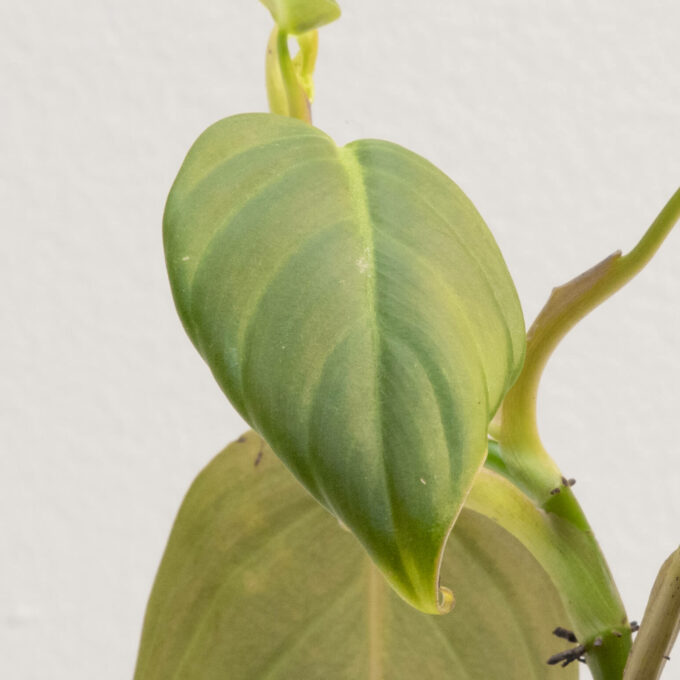 Leaf detail of Philodendron gigas for sale by Urban Flora.