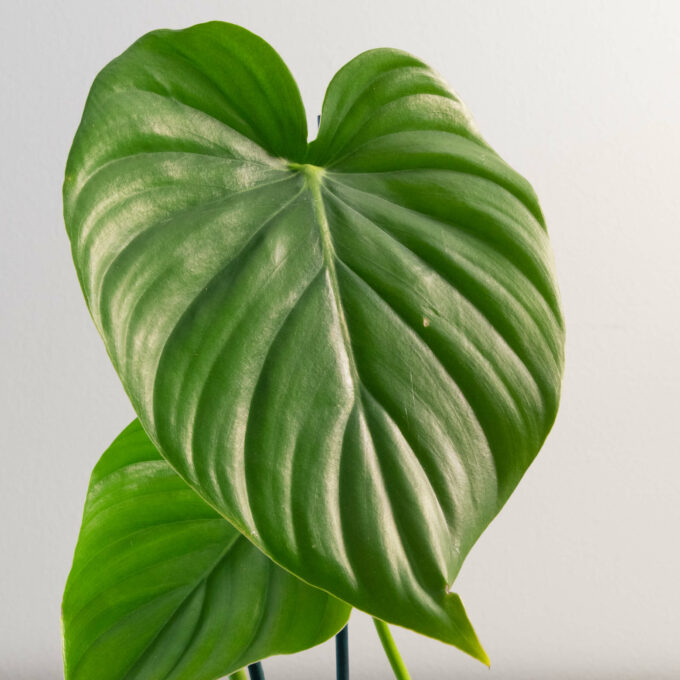 Leaf detail of Philodendron pastazanum for sale by Urban Flora.
