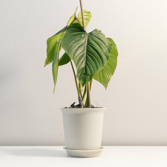 Potted Philodendron plowmanii for sale by Urban Flora.