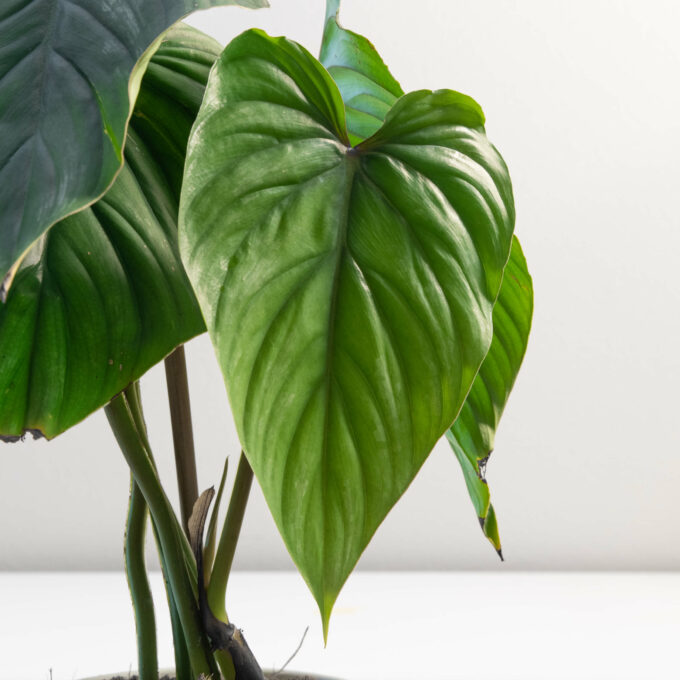 Leaf detail of Philodendron plowmanii for sale by Urban Flora.