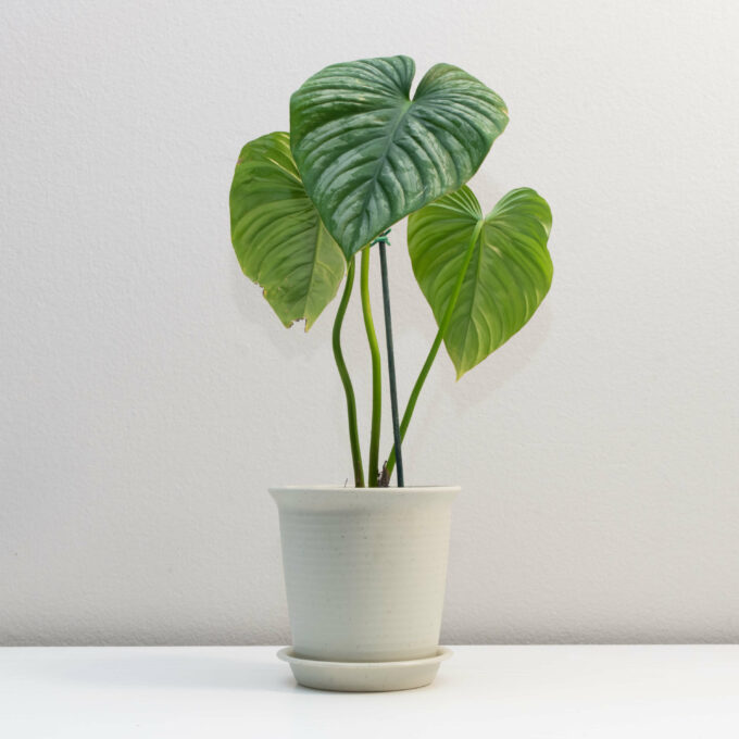 Potted Philodendron sodiroi aff for sale by Urban Flora.