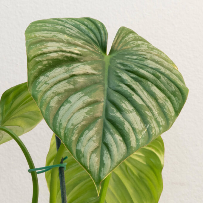 Leaf detail of Philodendron sodiroi aff for sale by Urban Flora.