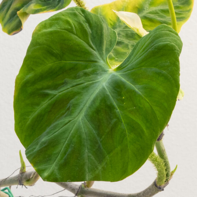 Leaf detail of Philodendron verrucosum for sale by Urban Flora.