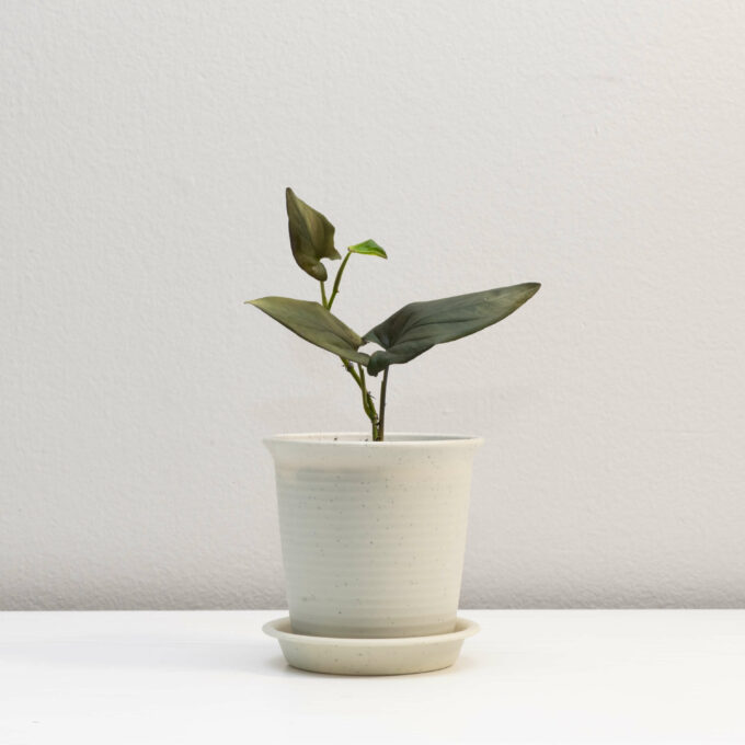 Potted Syngonium erythrophyllum for sale by Urban Flora.